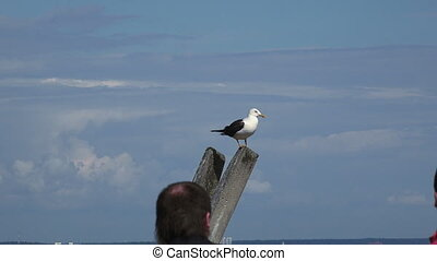 Gull on a concrete pillar Shot in 4K ultra-high definition...