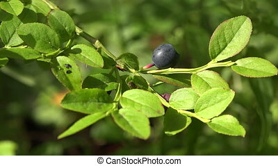 Blueberry Bush in the forest. Shot in 4K (ultra-high...