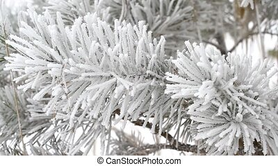 Fir tree in winter -  Fir tree is covered by ice