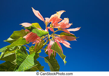 pink poinsettia growing outdoors