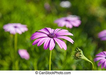 Osteospermum, African Daisy, South African Daisy, Cape Daisy...