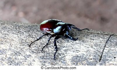 Rhinoceros beetle,Fighting - Rhinoceros beetle, Rhino...