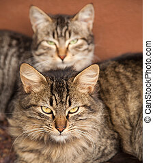 two stripy cats relaxing