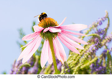 Echinacea flower with bumblebee - Pink Echinacea flower with...