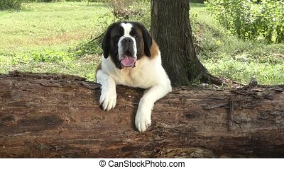 Dog breed St. Bernard resting outdoors