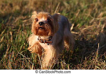 Little dog on grass, Yorkshire terrier
