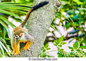 Common Squirred Monkey. - Common Squirred Monkey in its...