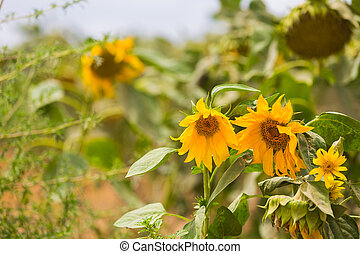 Agricultural landscape growing and blooming of sunflower