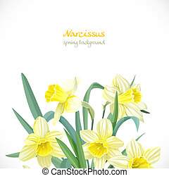 Narcissus spring background