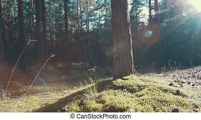 Sun rays in a pine forest - Slider shot of the sun shining...