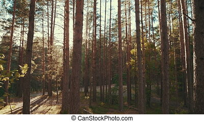 Sun rays in a pine forest - Shot of the sun shining through...