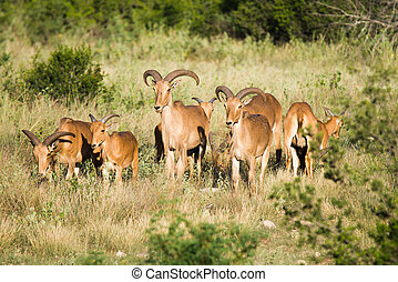 Aoudad sheep - A family of Aoudad sheep standing in a field
