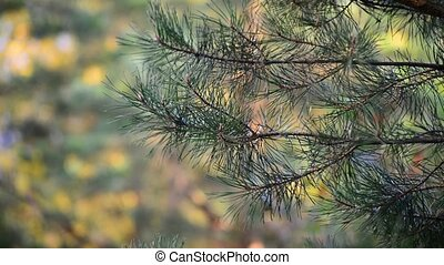 Pine tree in autumn park at sunset - Pine tree in autumn...