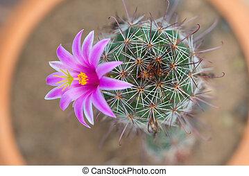 Closed up Cactus in flower pot - Cactus in flower pot