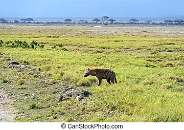 Hyena Amboseli National Park in Kenya