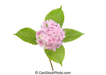 Pink Hydrangea - Pastel pink mophead hydrangea flower and...