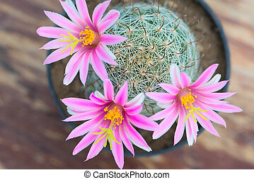 Pink flower of cactus in pot on old wood table - closed up...