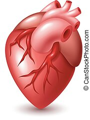 Human heart illustration - Vector Illustration Of Human...