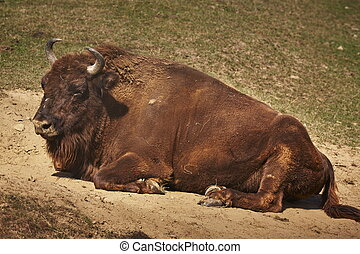 European bison female - Adult European bison Bison bonasus...