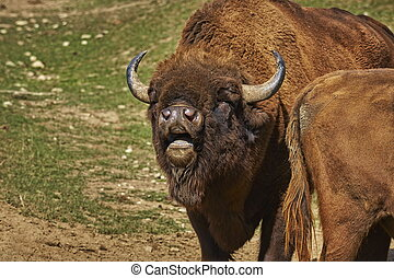 Rutting European bison male - Closeup of a roaring European...