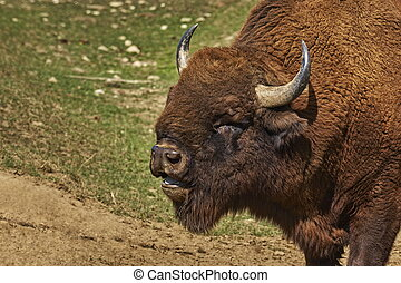 Roaring bison male head - Head closeup of a roaring European...