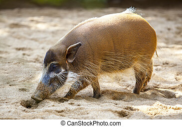 Red river hog - Mature specimen of red river hog or...