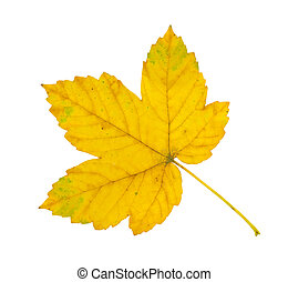 sycamore leaf - yellow, autumn sycamore leaf isolated on...