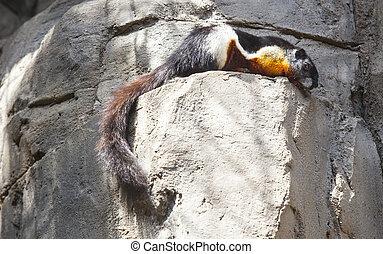 Prevosts Squirrel or Callosciurus prevostii resting on the...