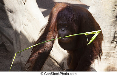 Orangutan with cane stick - Orangutan with a cane stick in...