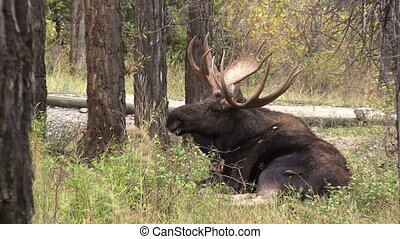 Bull Moose Bedded - a big bull moose bedded