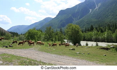 Herd of cows grazing near river Chuya and Chuysky Trakt -...