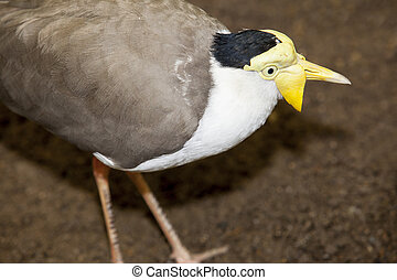 Masked lapwing, Vanellus miles, also known as the masked...