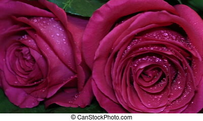 Fresh pink rose and dry. Withering beauty and the onset of...