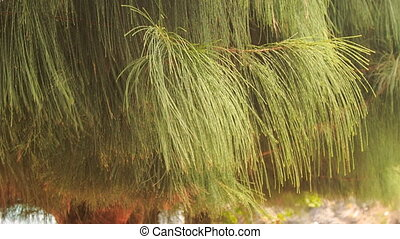 wind shakes branch of tropical pine