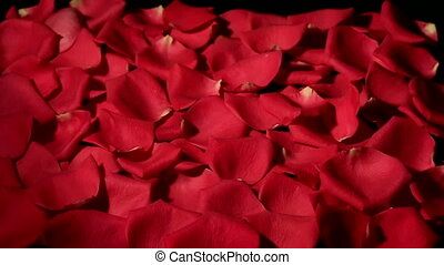 Wind blows red rose petals from black background. - Wind...