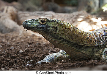 Komodo dragon or Varanus komodoensis, also known as the...