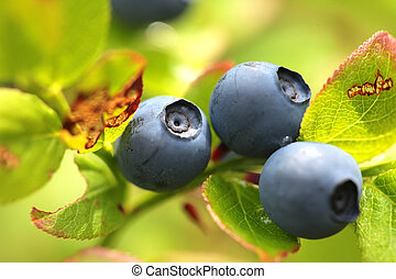 Wild blueberries on the bush in forest. Vaccinium myrtillus...