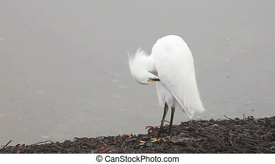 grooming snowy egret - a snowy egret grooms itself,...
