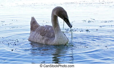 Young white swan