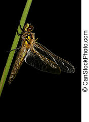 Dragonfly isolated on black background