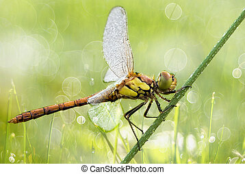 Dragonfly with water drops close-up - Beautiful dragonfly on...