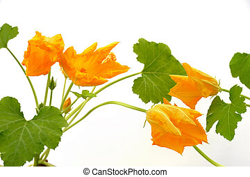 Squash flower and leaves isolated on white
