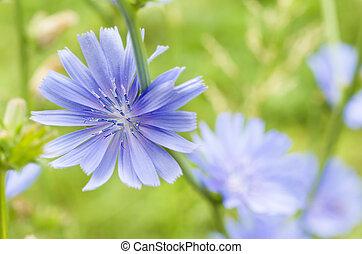 achicoria, flor,