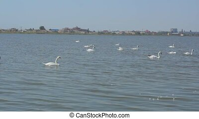 large flock of swans in the city pond