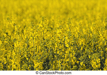 Rapeseed flowers - Rapeseed field with yellow flowers,...