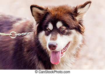 malamute puppy charming Dog on the site in the fall