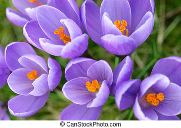 Closeup of purple crocuses - Closeup of a group of beautiful...