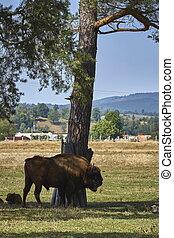 European bison bull and calf - Large dominant European...