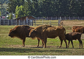 European bison females and a calf suckling - Two large...