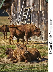 European bison females and calves - Tranquil European bison...